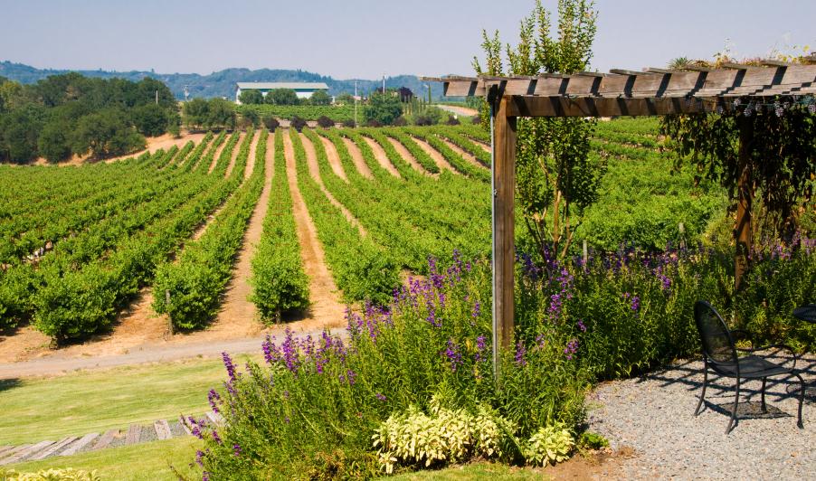 Cabernet vineyards