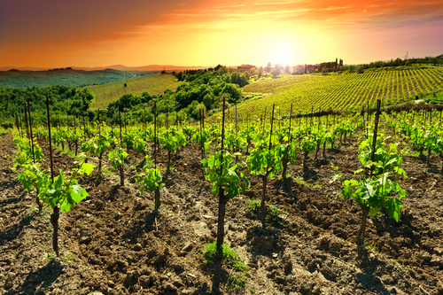Vineyard in Chianti with beautiful sunset views