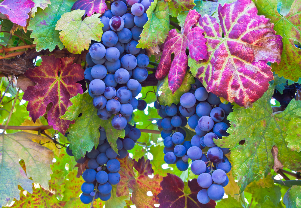 Beautiful picture of grapes and autumn leaves in Napa Valley, California