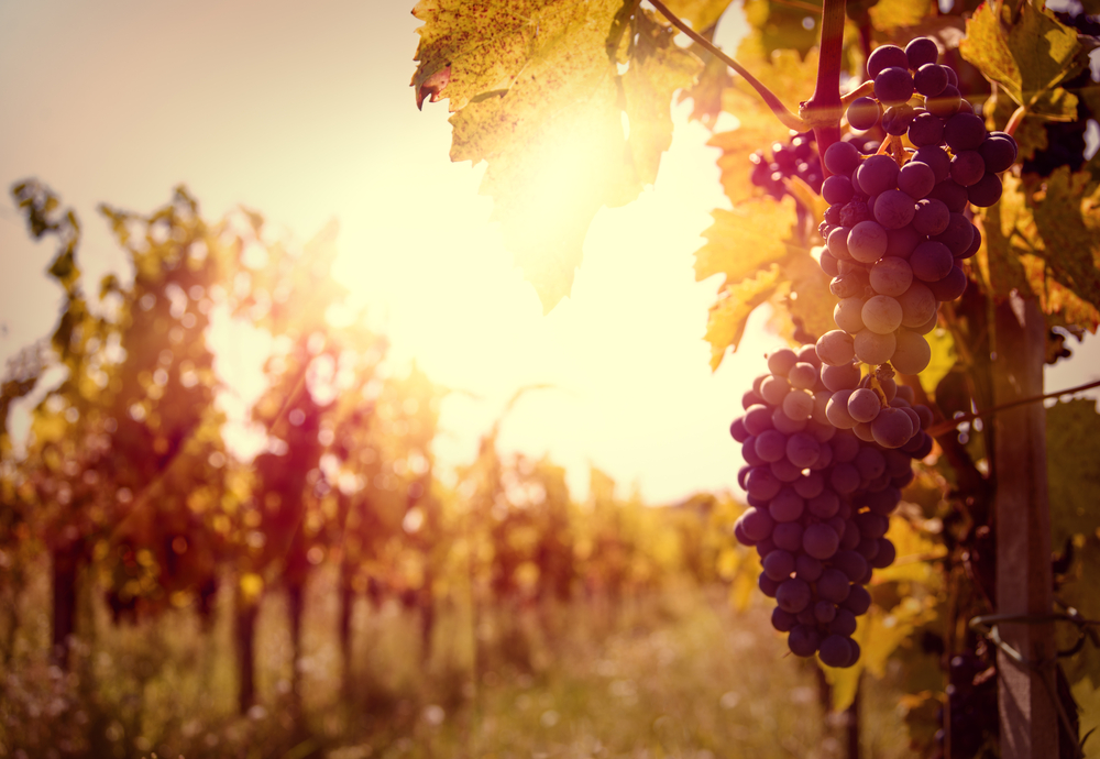 Beautiful sunset view of a bunch of grapes in a vineyard.