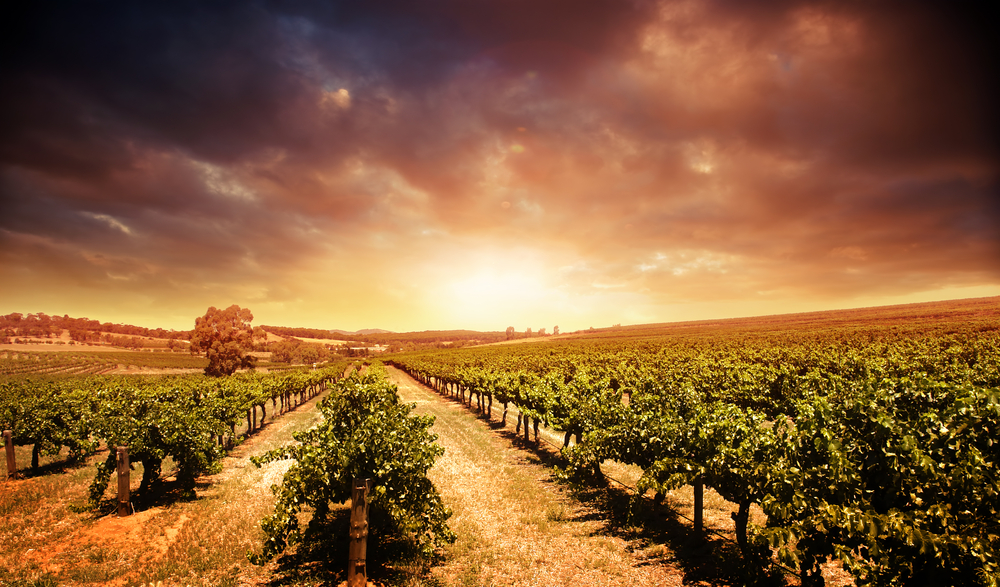 Scenic picture of a vineyard in Barossa Valley, Australia with stormy sunset background.