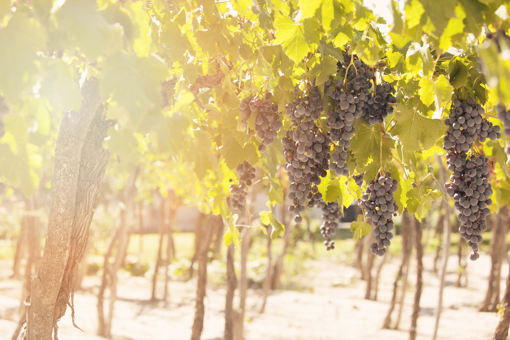 Image of grapes growing in a vineyard.