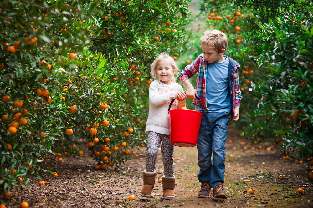 Two kids plucking oranges in an orange grove