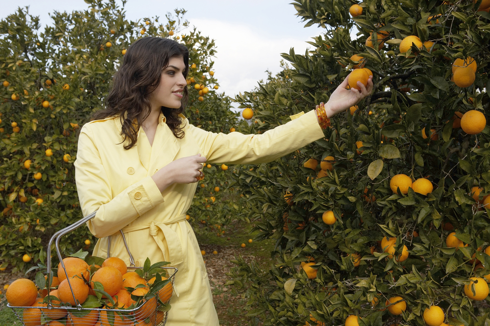 Woman plucking oranges in a citrus grove.