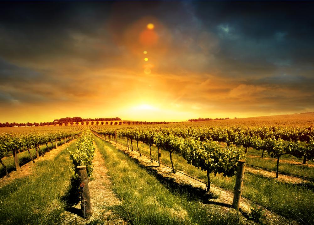 Vineyard in Barossa